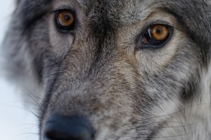 Yamnuska-Wolfdog-Sanctuary-3